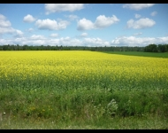 Canola field off the highway